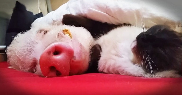 Cat And Pig Nap Buddies!?! These Snuggles Are SO Sweet!