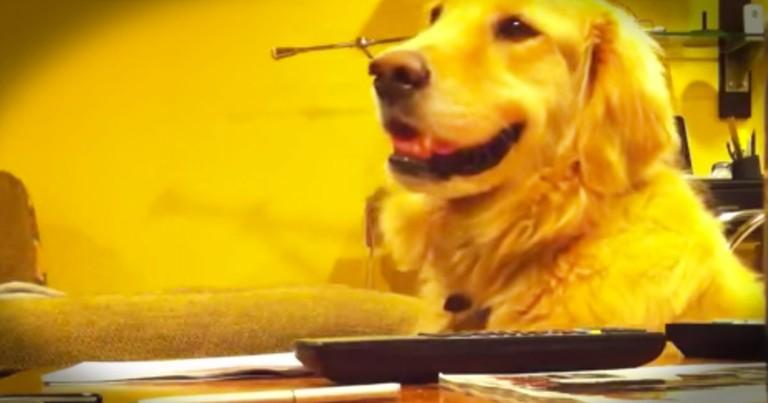Cute Golden Retriever Loves to Listen to Guitar