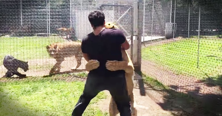 Lion Jumps On And Hugs The Man Who Rescued Her