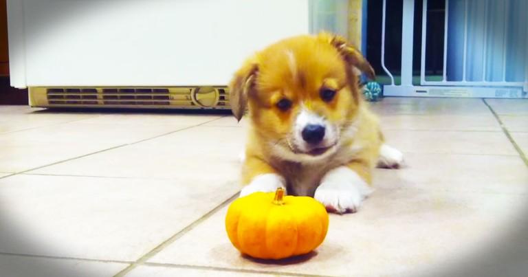Tiny Corgi And A Tiny Pumpkin Will Make Your Day