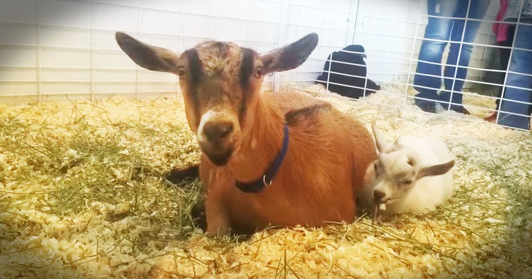 Goat's Reunion With Her Baby Is Touching