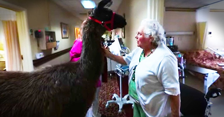Nursing Home's Therapy LLAMA Is Too Cute To Miss