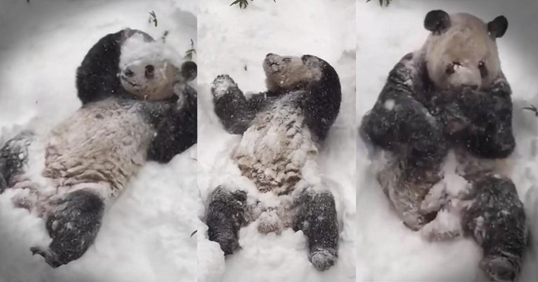 Panda's Snow Adventure Brings Smiles