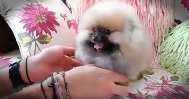 Fluff Ball Puppy Will bring You So Much Joy