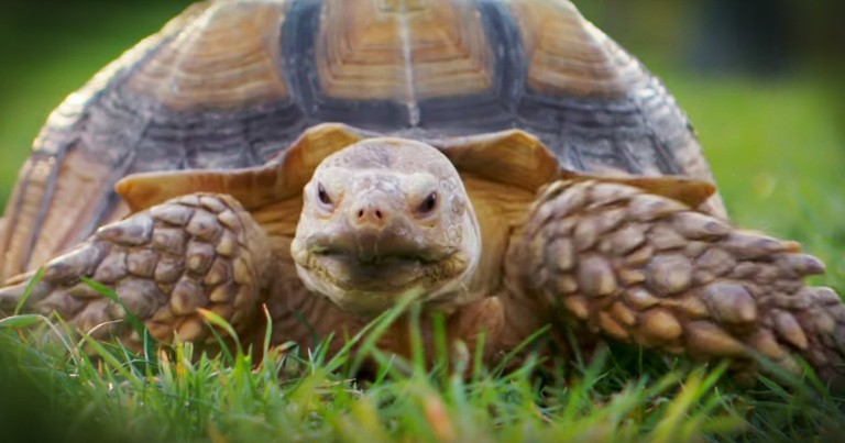 Woman Looking For A Tortoise Walker Will Crack You Up