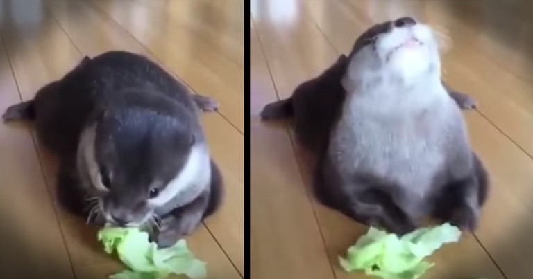 Precious Otter Snacking On Lettuce Will Make You Smile