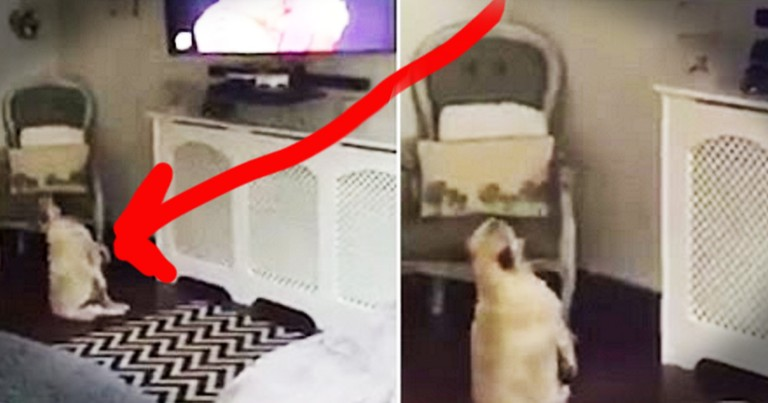 Pug's Lazy Dance Moves Will Make Your Day