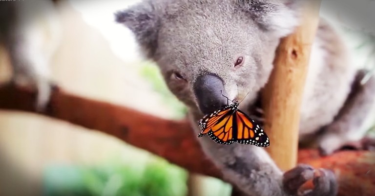 Precious Koala Becomes Best Friends With A Butterfly