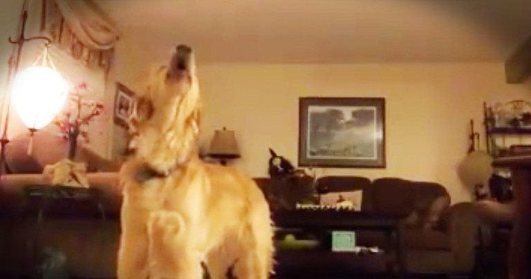 Opera Singing Golden Retriever Sings 'The Prayer' And It's Hilarious