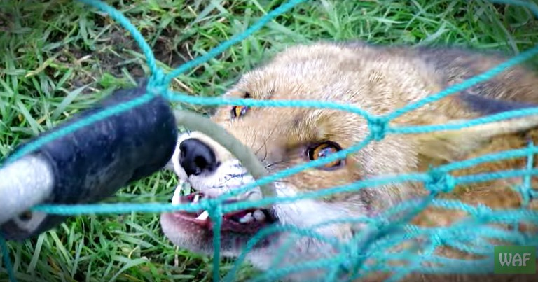 Feisty Tangled Fox Gets A Speedy Rescue