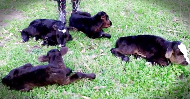 Cow Surprises Farmer With Miraculous Quadruplet Birth