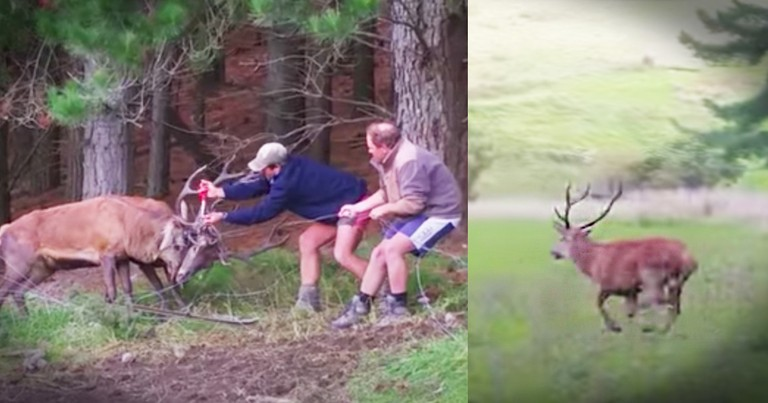 2 Brave Guys Rescue Bucks Dangerously Tangled In Barbed Wire