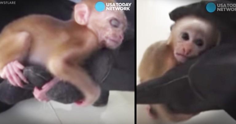 Baby Monkey Sleeps In Rescuer's Safe Hand