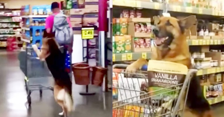 Smart Dog Amazingly Wheels Grocery Cart On Hind Legs