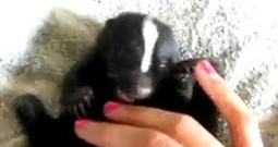 Adorable Baby Skunk Will Melt Your Heart