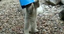 Meet the Baby Polar Bear That Just Loves his Bucket