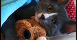 Adorable Cat Just Loves his Little Stuffed Animal