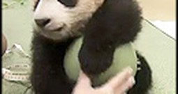 Rare Footage of a Newborn Panda Bear Playing