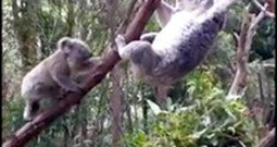 Mother Koala Comes to her Baby's Rescue
