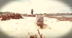 Baby Wombat Running Right At You Will Make Your Week