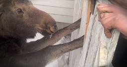 Baby Moose Stuck In A Fence Gets Nail-Biting Rescue