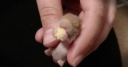 Baby Hamster's Sleepy Snack Is The Cutest