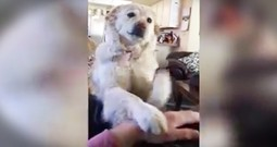Dog Hilariously Asks For More Belly Rubs