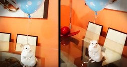 This Chinchilla Holding A Balloon With His Tiny Hands Made My Day