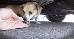 Tiny Chihuahua Rescued From The Street Is Reunited With Her Family