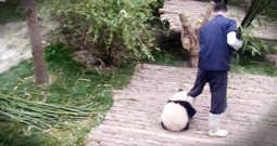 Tiny Panda Is Going Viral For Adorably Making His Caretaker's Job A Bit Difficult