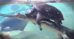 This Turtle Sure Has Found A Clever Way To Get Around
