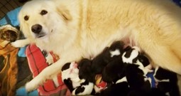 Grieving Momma Dog Adopts 8 Orphaned Pups As Her Own