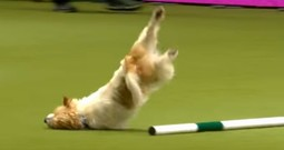Crazy-Hyper Show Dog Hasn't Quite Mastered Agility Training...But He's Hilarious