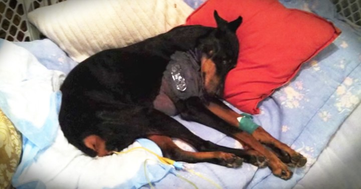 Couple Came Home To Find Their Dog Terminally Paralyzed But They Refused To Give Up